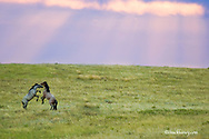 Wild horses at Theodore Roosevelt National Park in North Dakota at dawn