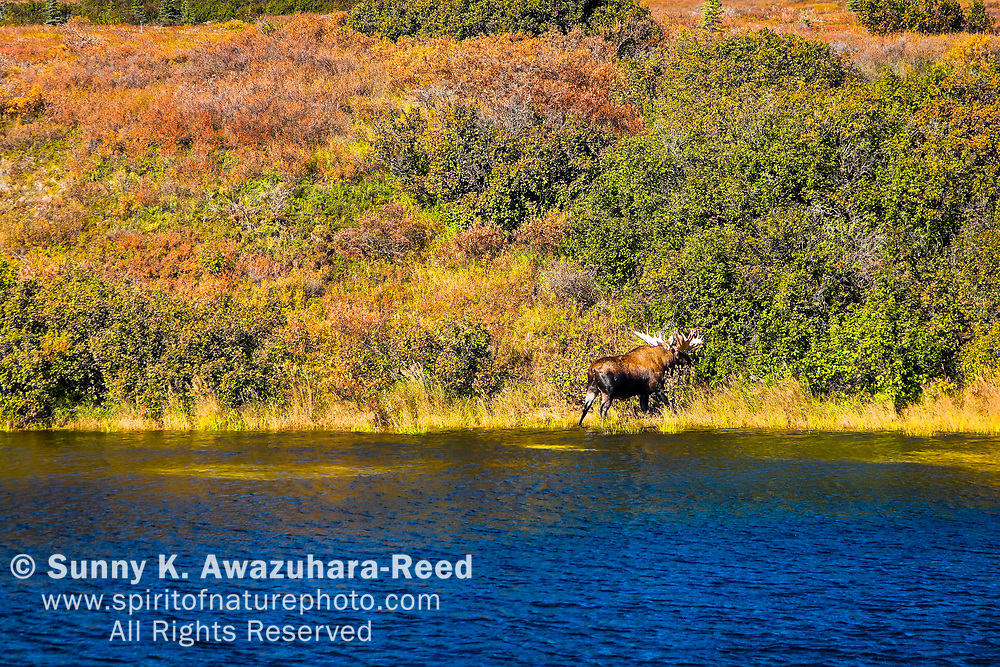 Bull Moose shedding an antler at lakeshore. Fall color tundra hill in the background. Denali National Park & Preserve, Interior Alaska, Autumn.
