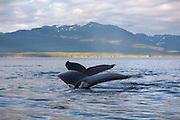 USA, Alaska, Chatham Strait, Humpback whale (Megaptera novaeangliae) tails at sunset