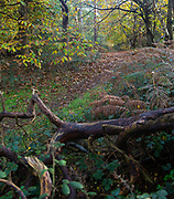 Fallen autumn leaves path through woodland in autumn, Suffolk Sandlings AONB, England, UK sweet chestnut tree, Castanea sativa,