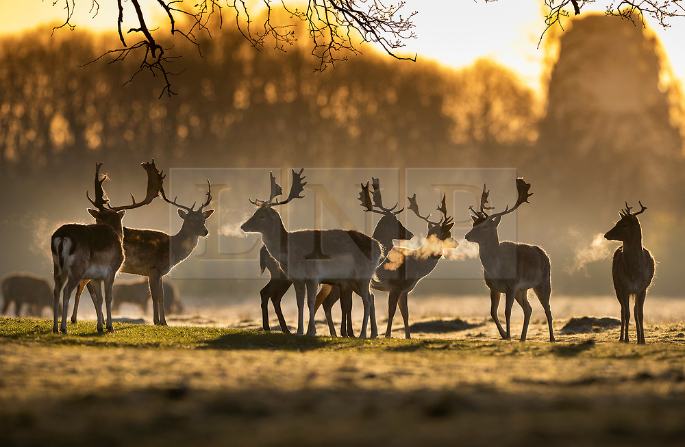 © Licensed to London News Pictures. 07/04/2021. London, UK. Stag deer are seen in freezing conditions at dawn in Bushy Park, south west London. Below zero temperatures overnight have brought frost to some parts of the south. Photo credit: Peter Macdiarmid/LNP