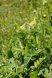 Moesdistel, Cirsium oleraceum