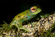 Boophis sp. (Boophis cf. eleane) from Ranomafana NP, eastern Madagascar.