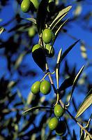 Italie - Toscane - Province de Sienne - Olive - olivier. // Italy, Tuscany, Sienna province, Olive tree.
