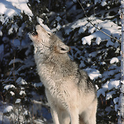 Gray wolf (Canis lupus) adult howling. Captive Animal