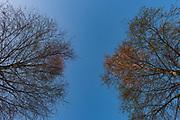 Sunrise shines over tops of birch trees (Betula sp.) against the blue sky, near Mazgramzda, Kurzeme, Latvia Ⓒ Davis Ulands | davisulands.com