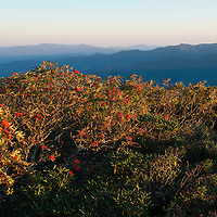 The red berries of American mountain ash trees glow in the warm light of sunrise at the top of Craggy Pinnacle Trail along the Blue Ridge Parkway north of Asheville, North Carolina.