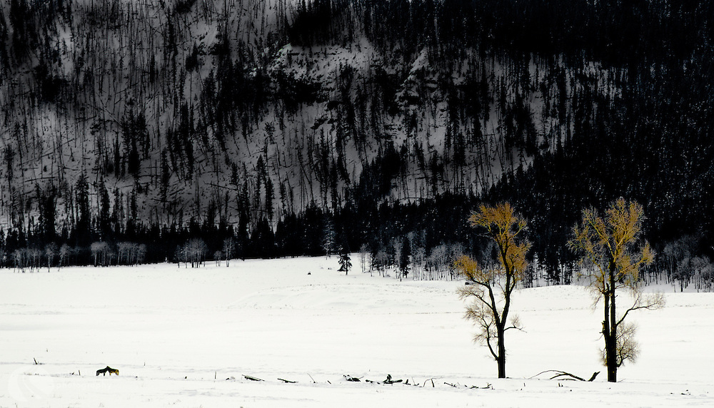 The wolves of Lamar Valley in Yellowstone are a rare treat to spot.
