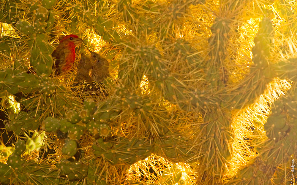 SONORAN MORNING BACKLIGHT   Male house finch (Carpodacus mexicanus) feeds nestlings in the first rays of Sonoran desert sunrise