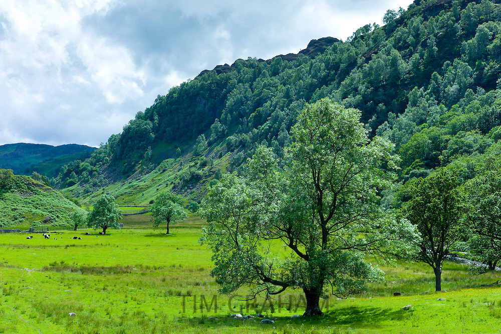 Ash trees by Grange Fell near Watendlath in the Lake District National Park, Cumbria, UK