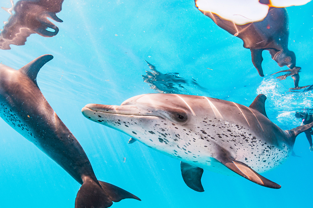 Atlantic spotted dolphins (Stenella frontalis) off Bimini, Bahamas.