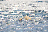 01874-12117 Polar Bear (Ursus maritimus) mother and cub jumping on ice in Hudson Bay  in Churchill Wildlife Management Area, Churchill, MB Canada