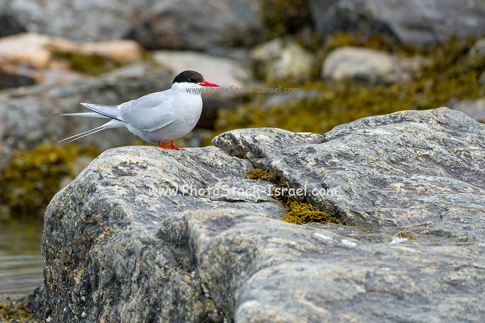 Arctic tern (Sterna paradisaea) on a rock This bird has the longest migration of any known animal, migrating from the Arctic, to Antarctic waters and back each year. It is native to Arctic Europe, Asia and America. Its wingspan measures up to 85cm and it can weigh up to 127g. Photographed in Svalbard, in the Arctic. Norway in July