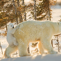 This three-month-old Polar Bear cub is hirthing a ride on the back of its mother in Wapusk National Park south of Churchill Manitoba Canada near the Hudson Bay.