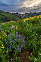 Wildflowers in Utah's Albion Basin during the Summer bloom on a cool Summer evening at sunset.