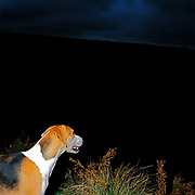 A foxhound at an early morning fox hunting meet at Warren Farm, Simonsbath, Exmoor, Somerset, UK. Fox hunting is an activity involving the tracking, chase and sometimes killing of a fox by trained foxhounds and a group of unarmed followers lead by a 'master of foxhounds' who follow the hounds on foot or on horseback. This controversial sport, was banned in England and Wales in November 2004.