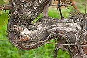 Old vine. Detail. Detail. Chateau de Haux, Bordeaux, France