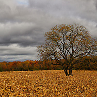 """""""Autumnal Equinox""""<br /> <br /> The beauty of a lone tree in the middle of a huge cornfield in fall. Dark clouds loom over the landscape as cold air is ushered in! Most of the foliage is now gone, revealing the pure beauty of the tree itself!<br /> <br /> Autumn Landscapes of Michigan by Rachel Cohen"""