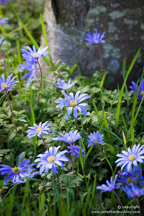 Anemone blanda growing in grass around the base of a tree trunk