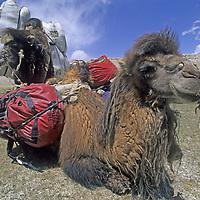 CHINA, Xinjiang. Bactrian camels carrying trekking equipment in Pamir Mountains.
