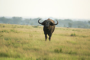 African Buffalo AKA Cape Buffalo (Syncerus caffer) Photographed at the Queen Elizabeth National Park, Ishasha Sector, Uganda