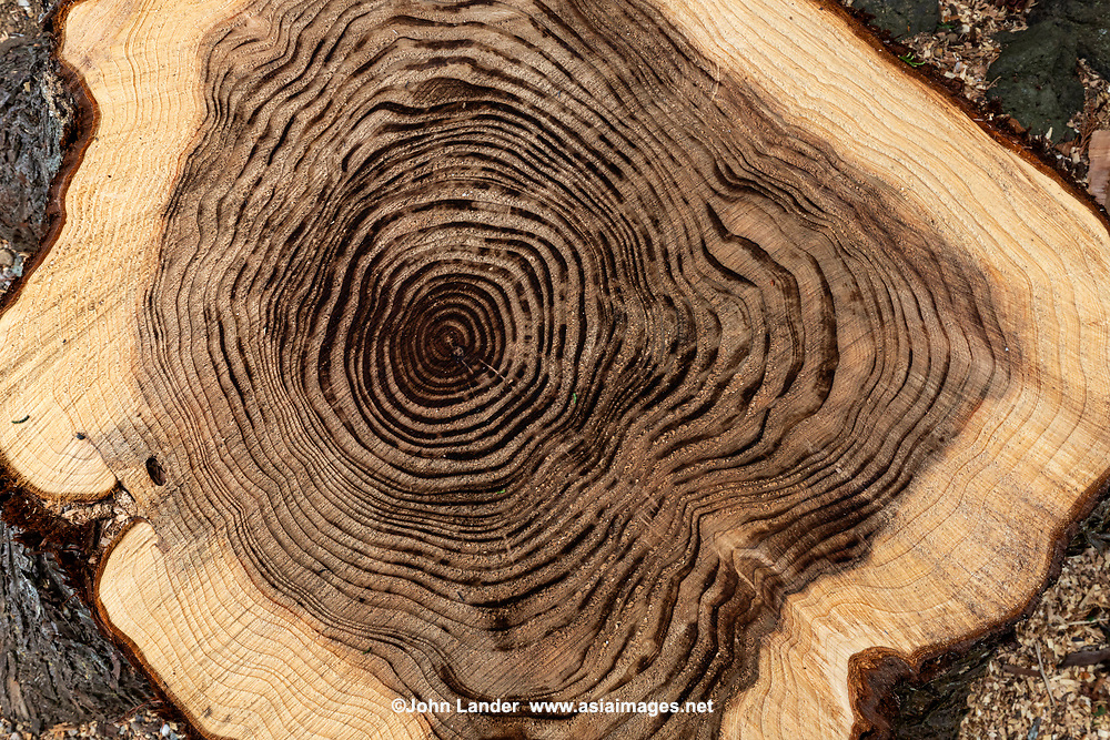 Tree rings -  Each year, a tree forms new cells, arranged in concentric circles called annual rings that show the amount of wood produced during one growing season.  One year of growth is represented by a ring consisting of a light part and a dark part.  The older rings are closest to the centre of the tree. The tree grows in diameter because it manufactures new cells around its circumference.
