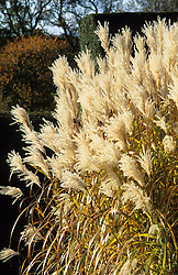 Miscanthus 'Silberfeder' syn. Miscanthus sinensis 'Silver Feather' at Great Dixter