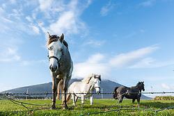 Irish horse near  Dooagh, Achill Island, County Mayo, Ireland