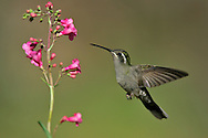 Blue-throated Hummingbird - Lampornis clemenciae - Adult female