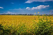 Sept. 2020: Hoi An: Golden rice fields before harvest with yellow flowers on the edge.