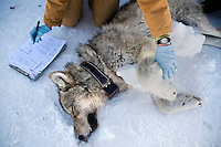 Lori Iverson, visitor services leader for the National Elk Refuge, takes notes on a sedated gray wolf during capture and collaring operations on the refuge.