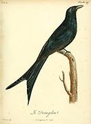 Drongolon from the Book Histoire naturelle des oiseaux d'Afrique [Natural History of birds of Africa] Volume 4, by Le Vaillant, Francois, 1753-1824; Publish in Paris by Chez J.J. Fuchs, libraire 1805