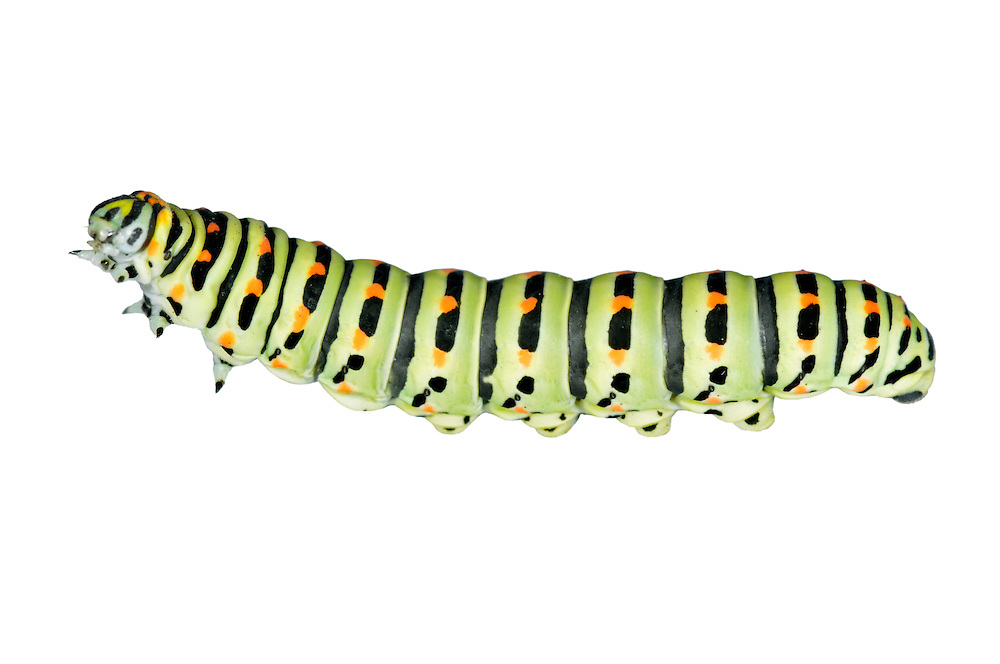 Swallowtail - Papilio machaon ssp. britannicus - larva. Wingspan 70mm. Iconic and unmistakable butterfly with mainly yellow and black wings; hind wings have blue and red spots, and tail streamers. Double-brooded: adults are on the wing May–June, and again in August. Larva is yellow-green with black and red markings; feeds on Milk-parsley. Restricted to a few fens and marshes in East Anglia, mainly in the Norfolk Broads; easiest to see at Strumpshaw Fen and Hickling Broad.