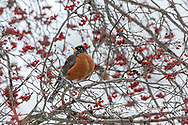 01382-05308 American Robin (Turdus migratorius) in Hawthorn tree in winter Marion Co. IL