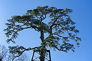 the large and very old pine tree at Odawara castle Japan