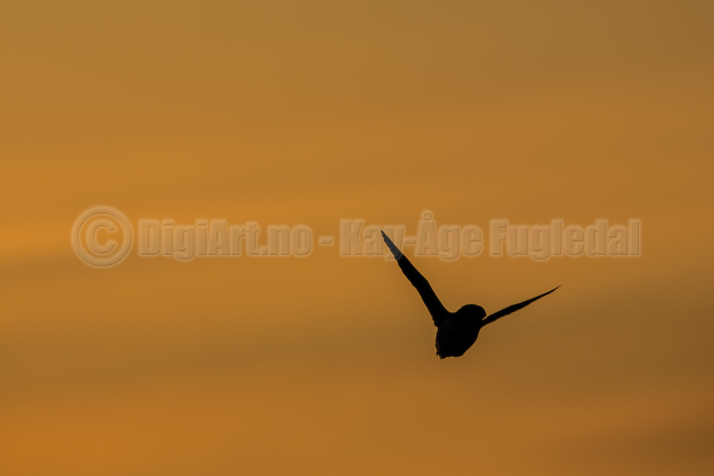 Lundefugl i silhuett mot gyllen himmel | Silhuette Puffin against golden sky