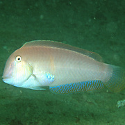 Pearly Razorfish inhabit shallow areas of sand and coral rubble in Tropical West Atlantic; picture taken St. Vincent.