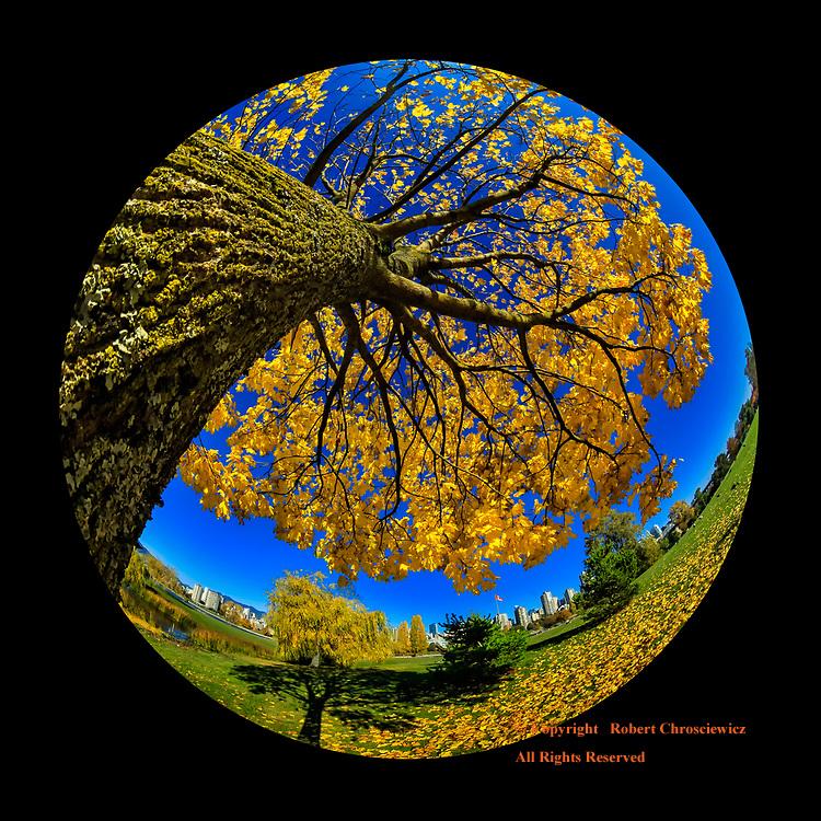 Autumn's Fisheye:  A fisheye, angular take of a solitary tree in the full golden display of Autumn, Kitsilano Vancouver British Columbia Canada.
