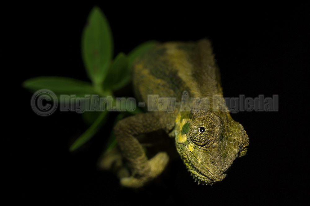 Chameleon on a branch, Rwanda | Kamelon på en gren, Rwanda