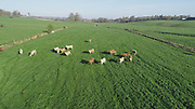 Charlot Cattle Grazing Pasture 15-4-20 Co Westmeath,