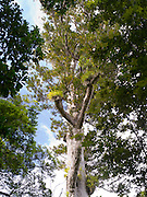 A rare, endangered kauri tree (Agathis australis) from a small grove in Northland, New Zealand