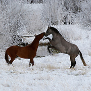 Two horses playing in a frost-covered field and trees during the winter in.Montana.