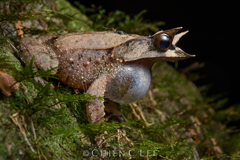 Bornean Horned Frog (Pelobatrachus nasutus), vocalising. Sarawak, Malaysia (Borneo).