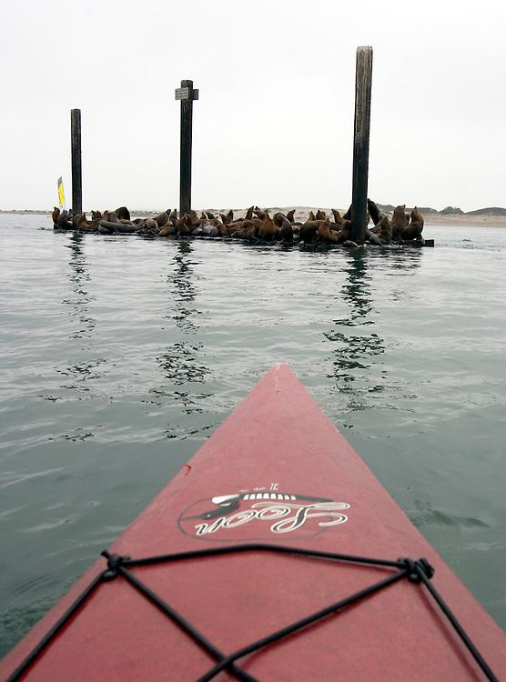 Harbor seals gather on a platform floating in Morro Bay.
