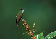 Sapphire Throated Hummingbird (Lepidopyga coeruleogularis - female animal - birds small resting perch soft