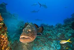large black grouper, Mycteroperca bonaci, and Caribbean Reef Sharks, Carcharhinus perezi, black grouper can grow up to 1.5 m weighing 100 kg, Grand Bahama, Bahamas, Caribbean Sea, Atlantic Ocean