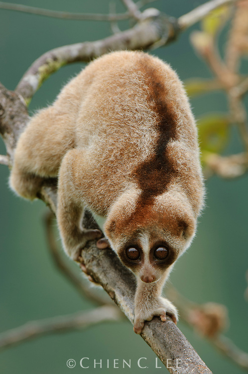 The newly distinguished Kayan Loris (Nycticebus kayan) differs from other Bornean loris species by a combination of morphological traits. Sarawak, Malaysia (Borneo).