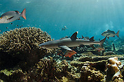 Whitetip Reef Shark (Triaenodon obesus)<br /> In shallow water on coral reef<br /> Benga Lagoon, Viti Levu<br /> Fiji. South Pacific
