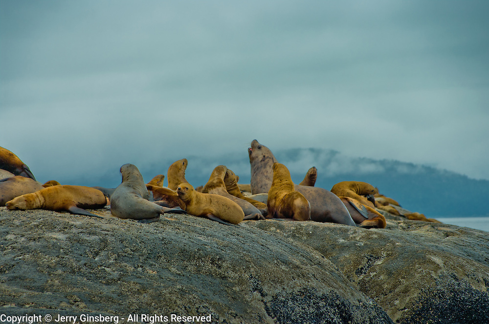 North America, United States, US, Northwest, Pacific Northwest, West, Alaska, Glacier Bay, Glacier Bay National Park, Glacier Bay NP. Stellar's sea lions relaxing on a rock in Glacier Bay National Park and Preserve, Alaska.