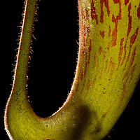 Near the summit of Gunung Murud (Sarawak's highest mountain), an newly described species of tiny bush frog (Philautus nepenthophilus) hides within the fluid of a carnivorous pitcher plant (Nepenthes mollis), apparently unaffected by the plant's digestive juices therein. Phytotelmata (water bodies held by plants) provide living quarters and breeding grounds for many unique creatures which are completely dependent on them. Pulong Tau National Park, Sarawak, Malaysia (Borneo).